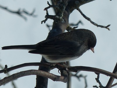 Dark-eyed Junco - female