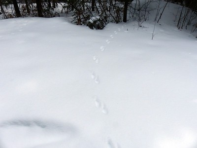 American Marten - tracks and trail