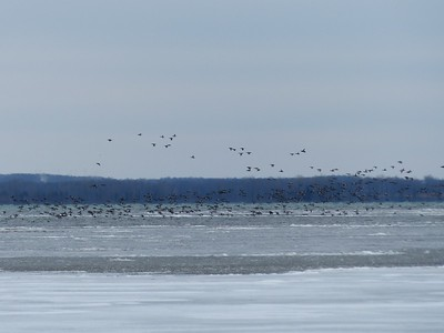 Large flock of ducks in flight south-east of Calf Pasture.