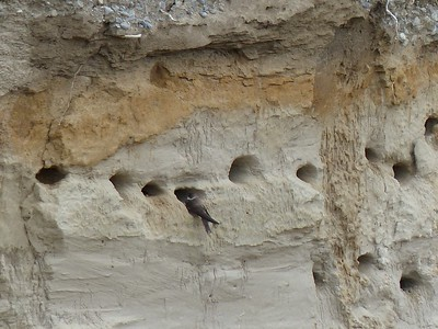 Bank Swallow - perched at mouth of burrow.