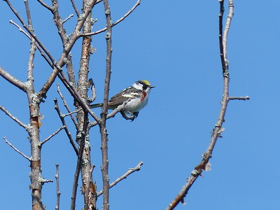 Chestnut-sided Warbler - male