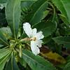 Forest naupaka, naupaka kuahiwi (Scaevola chamissoniana)