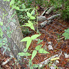 Nanea (Vigna o-wahuensis) growing up an exclosure fence
