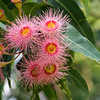 Flowering gum Dangar Island