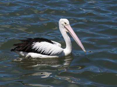 Pelican swimming