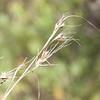 Slender reed