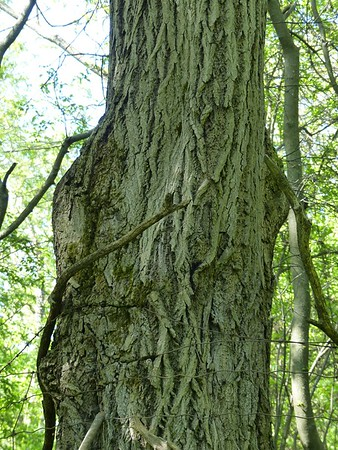 Trunk of Butternut tree