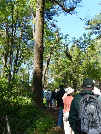 WBFN members walk beside one of Thickson's Woods old Eastern White Pines.