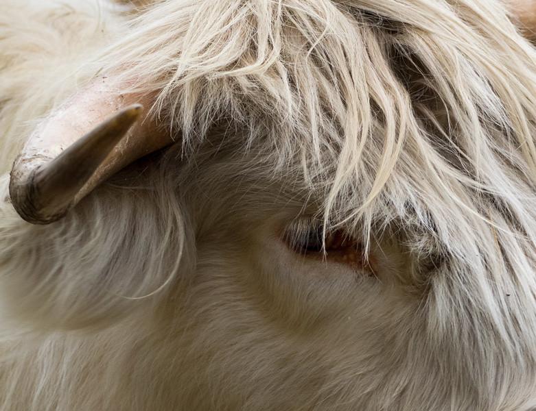 The Shaggy Cow