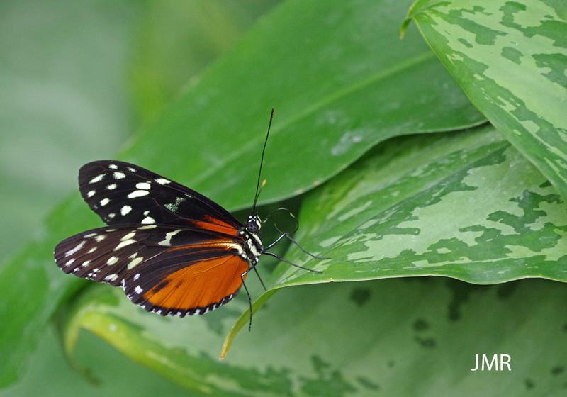 Feb 7- 2016 Cambridge Butterfly Con 053 copy1000