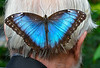 Blue Morpho resting on Mike M. (by John Stevenson)