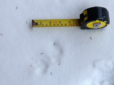Long-tailed Weasel? - tracks, definitely Weasel family, American Mink also a possibility