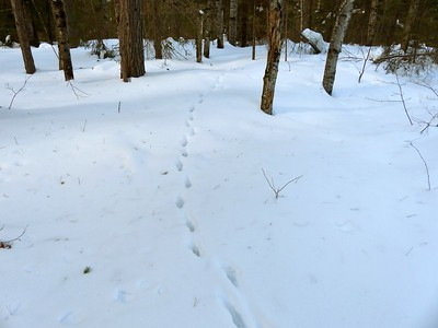 Red Fox - tracks and trail