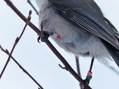 Gray Jay - leg bands