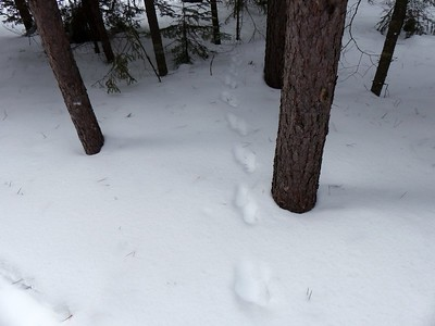 Fisher - tracks and trail