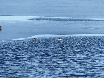 Common Merganser - pair near ice