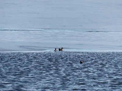 Hooded Merganser - near ice