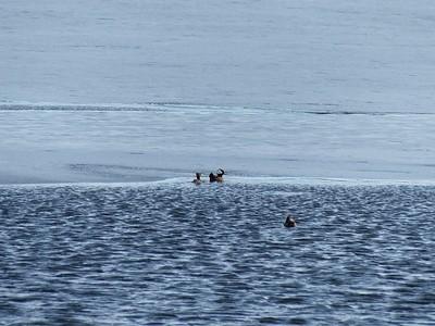 Hooded Merganser - near ice