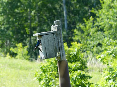 Tree Swallow feeding young at nest inside Bluebird box