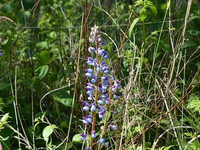 Wild Blue Lupine