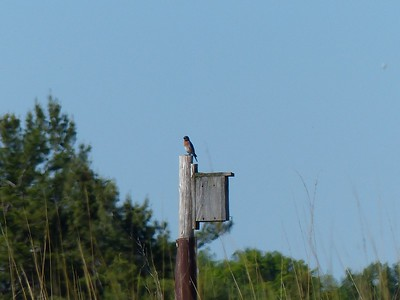 Eastern Bluebird at nesting box