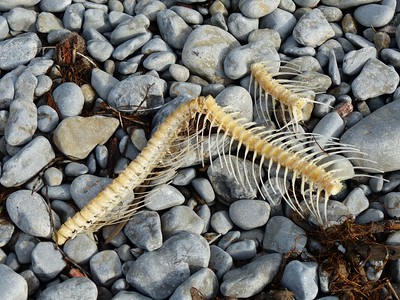 Fish bones, likely from a Salmon