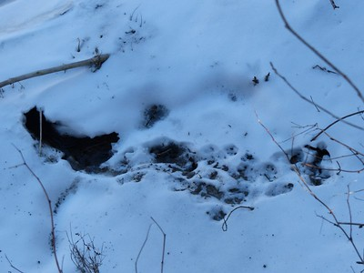 Exit hole from under ice near river bank likely used by a Muskrat. Tracks are too old for positive ID, but there appears to be tail drag marks. A Mink would have likely explored a bit more than the Muskrat.