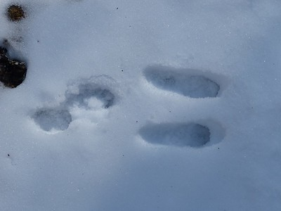 Eastern Cottontail - tracks