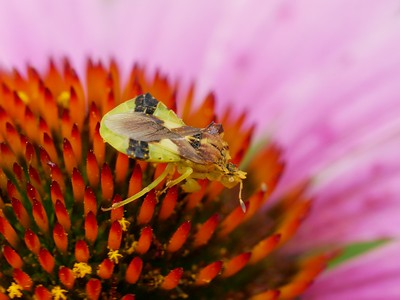 Ambush Bug - Phymata sp