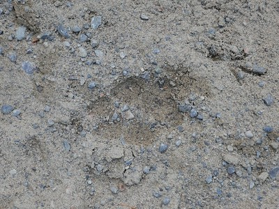 Coyote - track