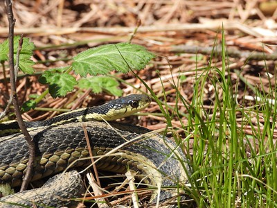 Common Garter Snake - mating, larger female with smaller male