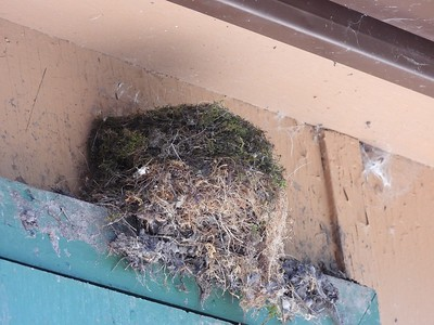 Eastern Phoebe - nest