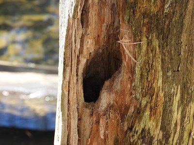 Black-capped Chickadee - nest cavity