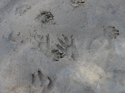 Raccoon - tracks (photo centre), other tracks are Domestic Dog