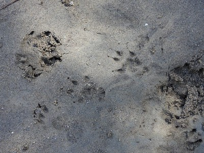 "Squirrel tracks - with track width of 1"", could be a large Red Squirrel or a small Eastern Gray Squirrel"