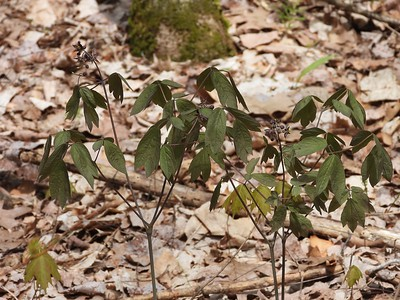 Early Blue Cohosh (Caulophyllum giganteum)