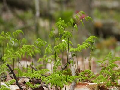 Northern Oak Fern (Gymnocarpium dryopteris)