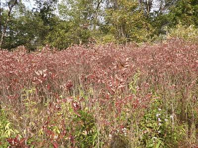 Gray Dogwood (Cornus racemosa)