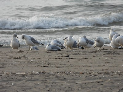 Ring-billed Gulls & 1 Herring Gull