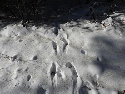White-tailed Deer - tracks