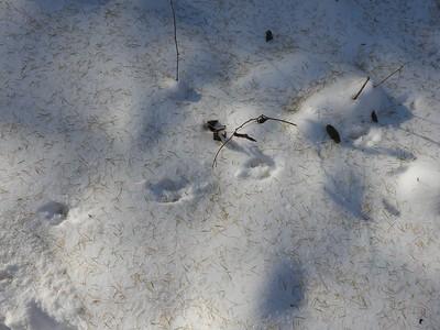 Eastern Chipmunk - tracks & trail