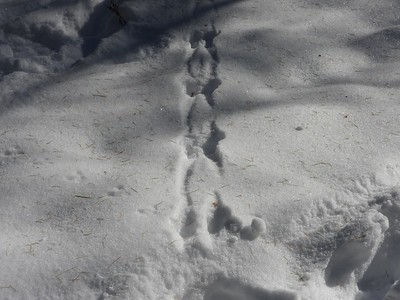 Red Squirrel - tracks & trail
