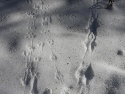 White-footed Mouse (L) & Red Squirrel (R) - tracks & trails