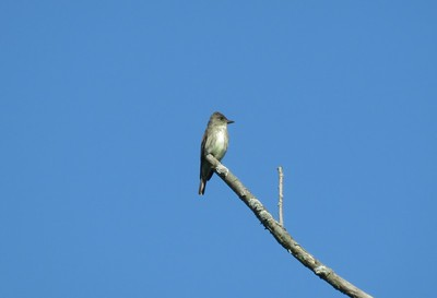 Olive-sided Flycatcher in Area 3 - Photo by Katsu Sakuma