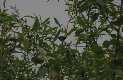 Lawrence's Warbler in Area 3 - Photo by Katsu Sakuma