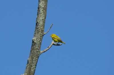 Yellow Warbler in Area 3 - Photo by Katsu Sakuma