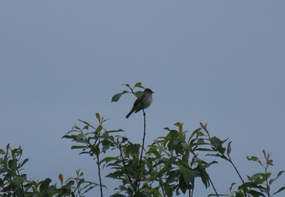 Willow Flycatcher in Area 3 - Photo by Katsu Sakuma