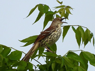 Brown Thrasher in Area 3 - Photo by Don McLeod
