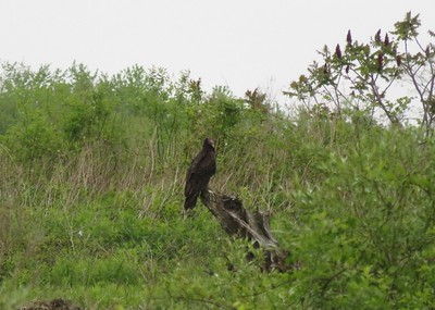 Turkey Vulture in Area 3 - Photo by Katsu Sakuma