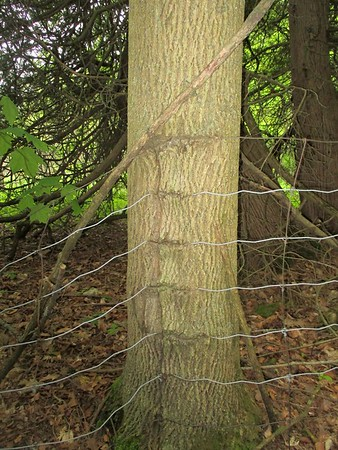 Fence in tree in Area 6 - Photo by Kathryn McHolm